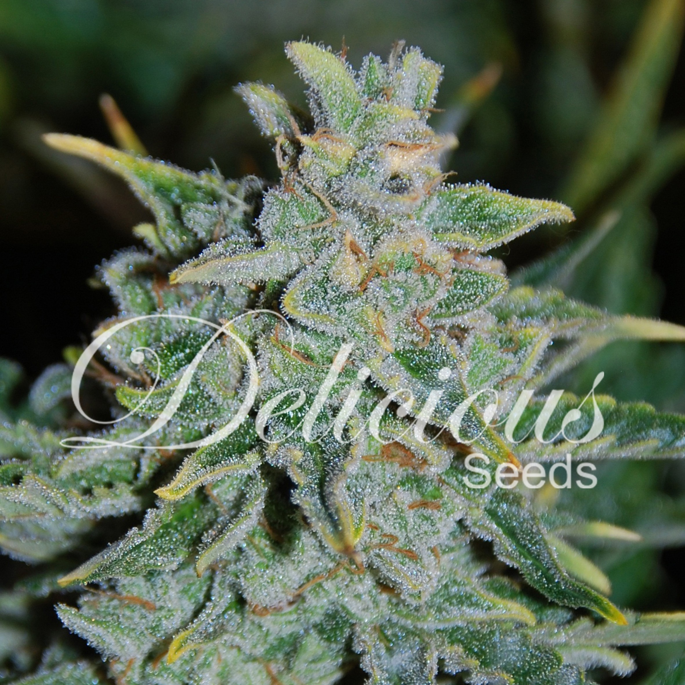 Northern-Light-Blue-Auto-Delicious-Seeds