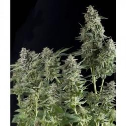 Northern Lights – Pyramid Seeds