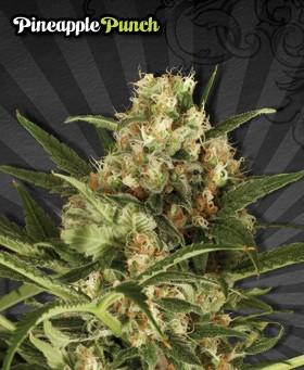 Pineapple Punch – Auto Seeds
