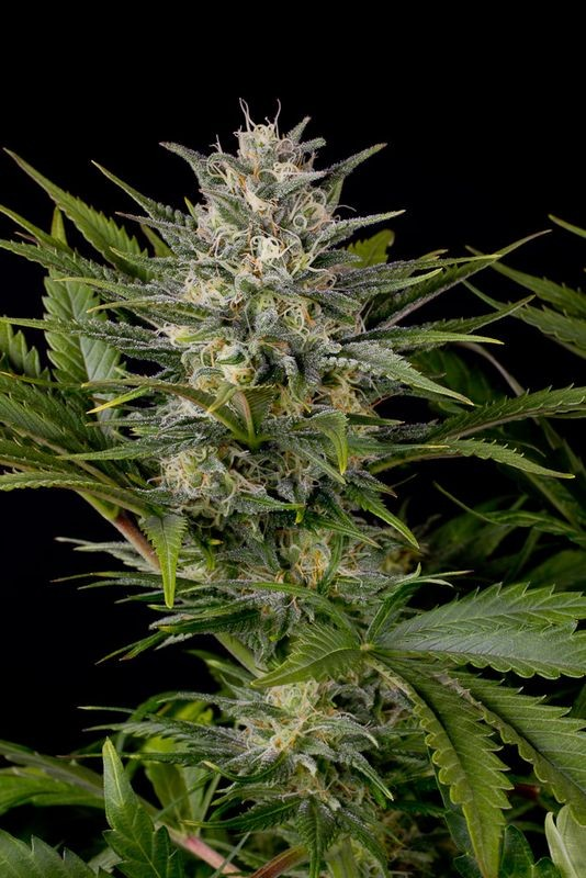 Pineapple Skunk 100% Reg Humboldt Seed Organization