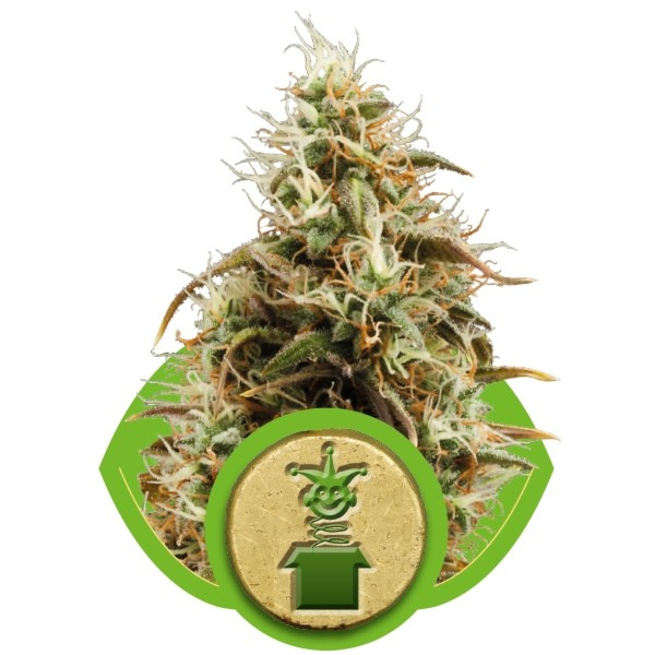 Jack Herer Auto – Royal Queen
