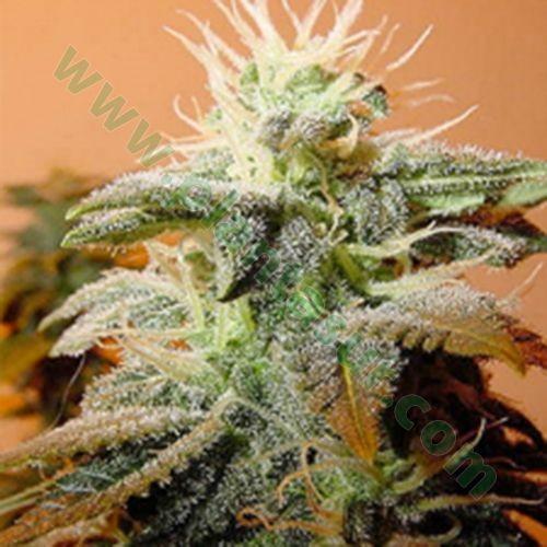 Indoor Mix – Female Seeds