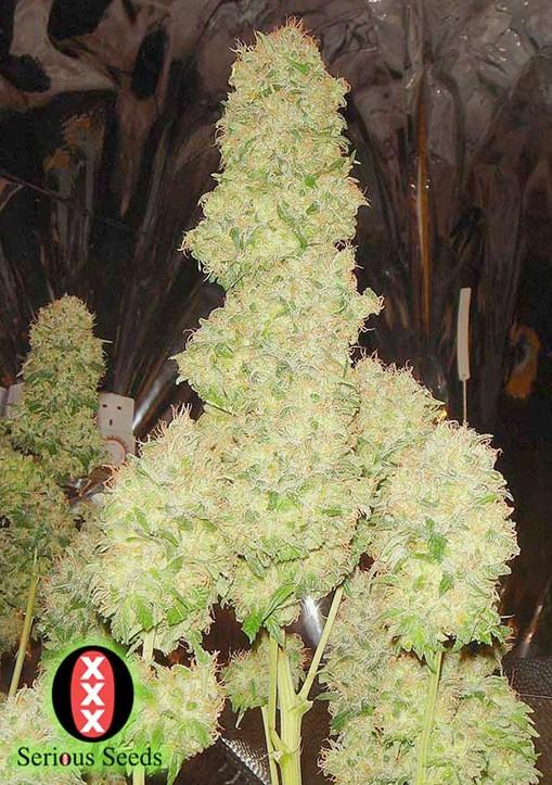 White Russian Regular - Serious Seeds
