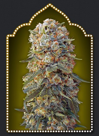 Sweet Crititcal – 00 Seeds