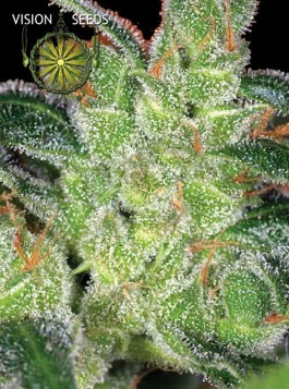 Cheese – Vision Seeds