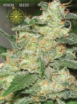 Russian Snow – Vision Seeds