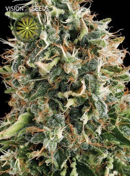 White Widow – Vision Seeds