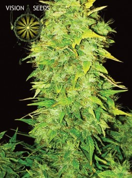 White Widow Auto – Vision Seeds