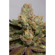 707 Truthband By Emerald Mountain 100% Humboldt Seed Organization