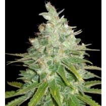 Afgan Kush X Black Domina - World Of Seeds