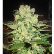 Afgan Kush X White Widow - World Of Seeds