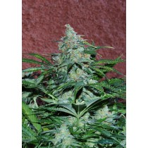 amnesia-auto-world-of-seeds