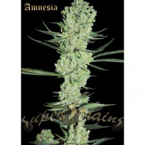 Amnesia – Super Strains