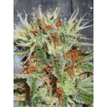 Auto Mary Jane – Ministry Seeds