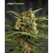 Auto Pounder With Cheese – Auto Seeds