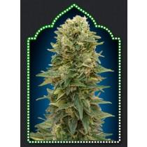 Auto Afghan Mass – 00 Seeds