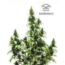 Autoblueberry – Dutch Passion