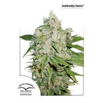 AutoBrooklyn Sunrise - Dutch Passion