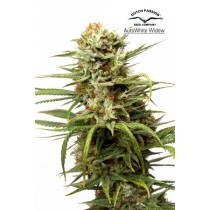 Auto White Widow – Dutch Passion