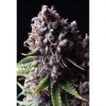 Auto Purple – Pyramid Seeds