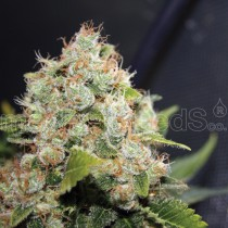 BCN-Sour-Diesel-Medical-Seeds