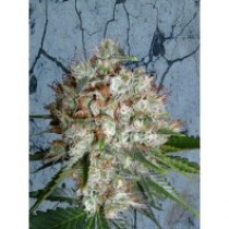 Big Bud XXL – Ministry Seeds