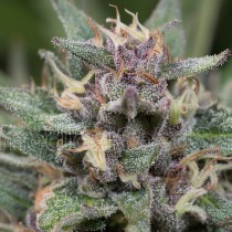 comprar semillas feminizadas blue hell auto de medical seeds