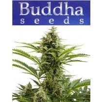 Vesta - Buddha Seeds