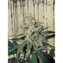 Carnival – Ministry Seeds