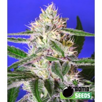 Cheese Bomb – Bomb Seeds