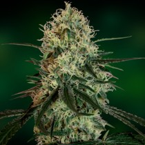 Chronic Thunder – Barney's Farm