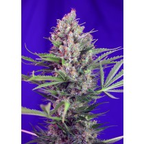Cream Mandarine F1 Fast Version Sweet Seeds