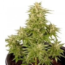 Royal Critical Auto – Royal Queen