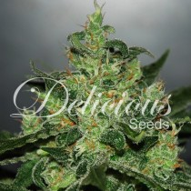 critical-jack-herer-auto-delicious-Seeds