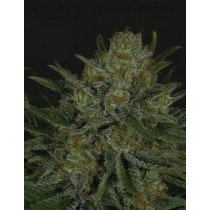 Double Glock -Ripper Seeds