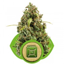 Diesel Auto – Royal Queen
