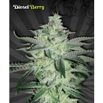 Diesel Berry – Auto Seeds