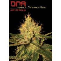 Cannalope Haze - DNA