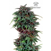 Durban Poison – Dutch Passion (Semillas)