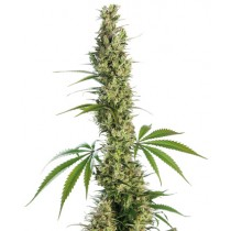 Eagle Bill Reg. Sensi Seeds