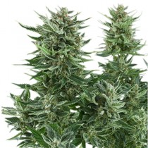 Easy Bud Auto – Royal Queen