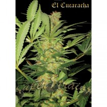 El Cucaracha – Super Strains