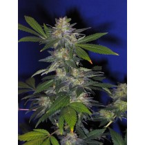 The Hog Regular – T.H. Seeds