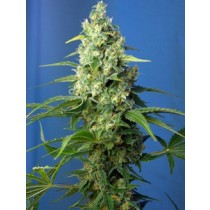 comprar semillas feminiazdas honey peach auto cbd de sweet seeds