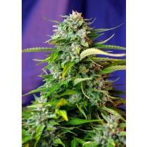 Jack 47 Auto Sweet Seeds