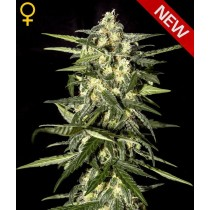 jack-herer-auto-green-house
