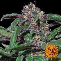 Ayahuasca Purple - Barney´s Farm