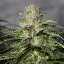 comprar semillas og kush cbd de medical seeds