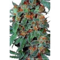 Orange Bud - Dutch Passion (Semillas)