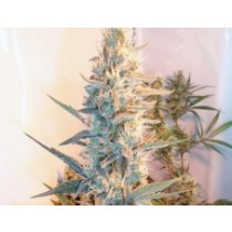 Outdoor Grapefruit – Female Seeds
